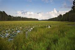 Dense water lilies of Swan Lake, Teton National Park, Wyoming. Stock Image