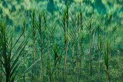 Reeds and Rushes Growing in Plitvice Lakes, Croatia. Dense water weeds, reeds and rushes, growing on the Plitvice Lakes, Plitvice National Park, Croatia Stock Image
