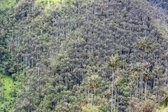 Dense Wax Palm Tree Forest Stock Image