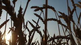 Dense wheat field at sunset. Wheat is ripe. It's time gather the harvest bread. stock video