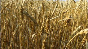 Dense wheat field. Wheat is ripe. It's time gather the harvest bread. stock footage