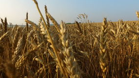 Dense wheat field. Wheat is ripe. It's time gather the harvest bread. stock video footage