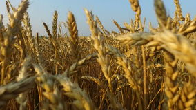 Dense wheat field. Wheat is ripe. It's time gather the harvest bread. stock video