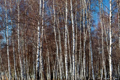 Dense white birch trees parcel Royalty Free Stock Images