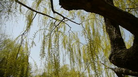 Dense willows by sparkling lake,blue sky background. stock footage