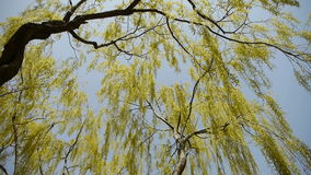 Dense willows by sparkling lake,blue sky background. stock video