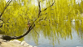 Dense willows by sparkling lake,Tourists cruise ships on water. stock footage