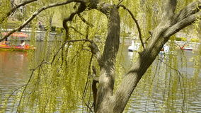 Dense willows by sparkling lake,Tourists cruise ships on water. stock video