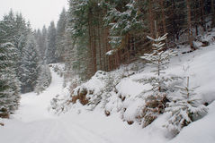 Dense winter forest and road with young trees in snowfall royalty free stock image