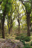 Dense woods. At noon, dense woods, backlit film Royalty Free Stock Photography