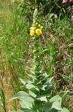 Denseflower dziewanna (Verbascum densiflorum) obrazy royalty free