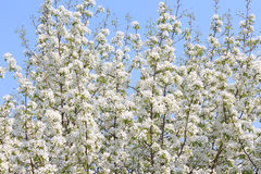Densely blooming apple tree Stock Image