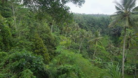 Densely overgrown green jungle. Lots of tall palm trees in a tropical forest. Incredibly beautiful view of the unspoiled. Nature. Camera moves stock video footage