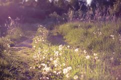 Densely overgrown with wild grass, the rural road is illuminated by the sun. warm summer evening. blur. Densely overgrown with wild grass and dandelions rural royalty free stock photo