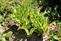 Densely planted Plantain lily or Hosta foliage plant with large ribbed light green to white leaves borne in a cluster at the base