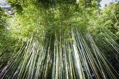 Denses竹藤茎在Ninfa庭院里  免版税库存照片