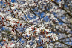 Densidade da flor de cerejeira Foto de Stock Royalty Free