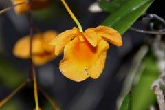 Densiflorum de Dendrobium Images stock
