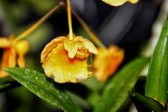 Densiflorum de Dendrobium Photo libre de droits