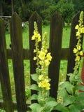 Densiflorum del Verbascum Fotografia Stock