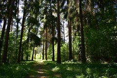 The density of trees helps to escape from the heat on a hot day and the smell of trees and pine is fascinating. Nature in the forest impresses with beauty and stock photography