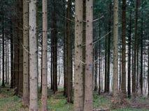 densly一起站立在瑞士森林里的树 免版税图库摄影