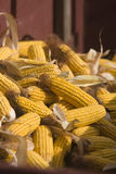 Dent Corn. Piles up in a wagon during a hand-harvesting event in Iowa stock photos