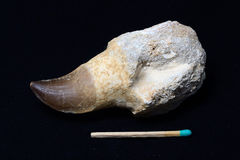 Dent de Mosasaurus photo stock