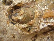 Dent et mâchoire fossilisés Image libre de droits