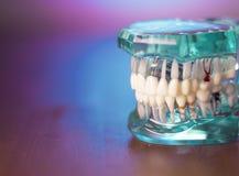 Dentadura para estudantes da odontologia fotos de stock