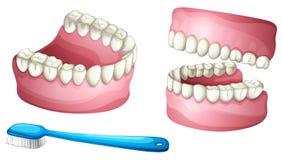 Dentadura y cepillo de dientes Imágenes de archivo libres de regalías