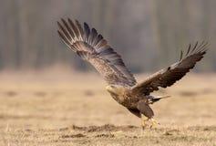 dentailed örnen går bort Arkivfoton