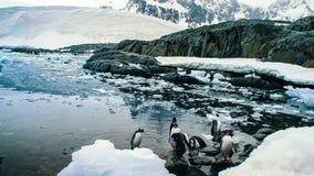 Dentailed gentoopingvinet är art för en pingvin i släktet pygoscelisen, den antarktiska halvön, Antarktis fotografering för bildbyråer