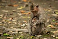 dentailed macaquen sitter kel behandla som ett barn bland sidor arkivbild