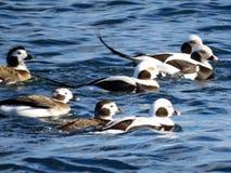 Dentailed Toronto sjön duckar 2017 Royaltyfri Fotografi