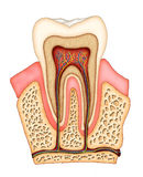 Dental anatomy. Section of a molar showing its internal structure. Digital illustration Royalty Free Stock Photos