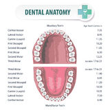 Dental Anatomy 2 Royalty Free Stock Photos
