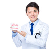 Dental doctor with denture Stock Image