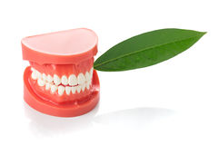 Dental jaw. Model with green leaf royalty free stock photography