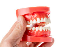 Dental jaw Royalty Free Stock Image