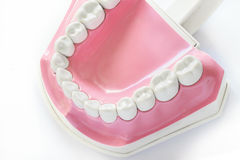 Dental jaw model. On white background Royalty Free Stock Image
