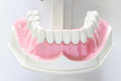 Dental jaw model. On white background Stock Images