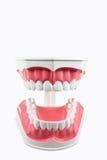 Dental Model royalty free stock photography