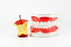 Dental Model Royalty Free Stock Image