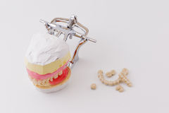 Dental model Royalty Free Stock Photography