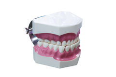 Dental Model of Teeth  isolate on white background Royalty Free Stock Images