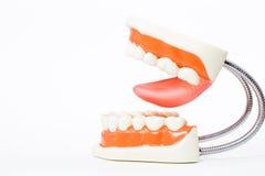 Dental model,teeth model Stock Image