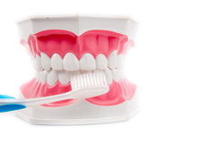 Dental Model of Teeth Royalty Free Stock Photography