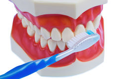Dental model with a toothbrush when brushing teeth. A dental model with a toothbrush when brushing teeth. brushing prevents caries Royalty Free Stock Images