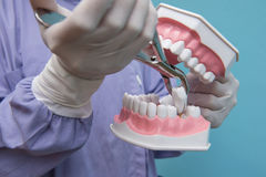 The dental model is used to Demonstration of tooth extraction by doctors. Blue background Royalty Free Stock Photos